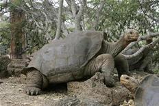 """<p>Foto de archivo del """"Solitario George"""" la última tortuga gigante de las islas Galápagos, Ecuador, 29 abr 2007. La última tortuga gigante que habita en las paradisiacas islas Galápagos en Ecuador está perdiendo la esperanza de convertirse en padre debido a problemas de fertilidad, lo que despertó la preocupación de los científicos sobre la extinción de su especie. REUTERS/Guillermo Granja</p>"""