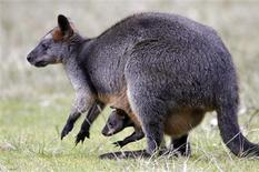 <p>Les kangourous et les êtres humains ont en commun une part importante de leur génome, selon le Centre d'excellence pour la génétique des kangourous. Humains et kangourous auraient un ancêtre commun, qui aurait évolué sur Terre il y a 150 millions d'années au moins. /Photo d'archives/REUTERS/Daniel Munoz</p>