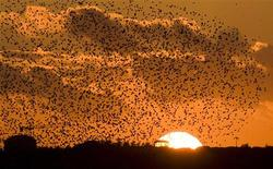 <p>Starlings fill the dusk sky over Rome November 19, 2008. A hazard to walkers, motorists and some of the world's most treasured monuments, thousands of the starlings earlier this month forced a Ryanair passenger jet to make an emergency landing at the city's Ciampino airport. On their own the birds, which each weigh about 80 grams (3 ounces), are not much danger. But when flying in flocks so dense they can block out the sun, they are a hazard and their stench is like a poorly cleaned cage at a zoo. Picture taken November 19, 2008. REUTERS/Chris Helgren</p>