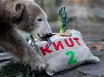 <p>Polar bear Knut eats his 'birthday cake' during his second birthday celebrations in his enclosure at the Berlin Zoo December 5, 2008. REUTERS/Johannes Eisele</p>