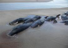<p>Part of a pod of 50 sperm whales are seen beached on the shores of Perkins Island on Australia's southern island state of Tasmania in this handout photo January 23, 2009. Only two whales survived with officials saying it was difficult for rescuers to reach the whales due to their size and location which is only accessible by boat, and the high tide. REUTERS/Tasmania Parks and Wildlife Service/Handout</p>