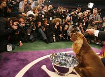 <p>Stump, a Sussex Spaniel, poses for photographers after winning Best in Show at the 2009 Westminster Dog Show in New York February 10, 2009. REUTERS/Lucas Jackson</p>