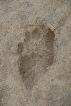 This undated handout image shows the fossil footprint left by a human ancestory about 1.5 million years ago in Kenya. REUTERS/Professor Matthew Bennett, Bournemouth University/Handout