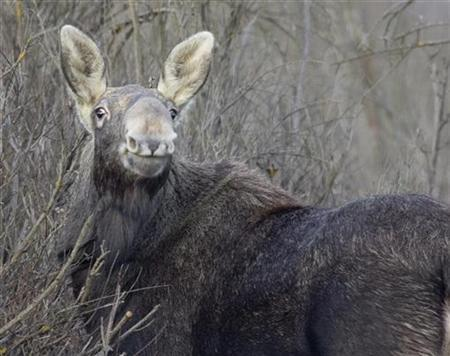 Chernobyl Animals Worse Affected Than Thought Study Reuters