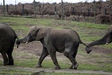 <p>Слоны на прогулке в сафари-парке в английском Бьюдли 7 апрел 2009 года.Польский политик раскритиковал местный зоопарк за приобретение слона нетрадиционной сексуальной ориентации по кличке Ниньо, который предпочитает общаться исключительно со своими сородичами мужского пола и, возможно, не произведет никакого потомства. REUTERS/Darren Staples</p>