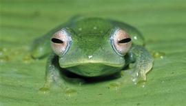 """<p>Una rana de una nueva especie llamada """"boophis aff elenae"""" en esta foto divulgada por el Consejo de Investigación Científica de España, 6 mayo 2009. Científicos hallaron más de 200 nuevas especies de ranas en Madagascar, pero una crisis política está afectando la conservación de la flora y fauna única de la isla del océano Indico, mostró un estudio. REUTERS/Miguel Vences</p>"""