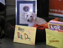 <p>Chanel, the world's oldest dog, at the New York Dog Hotel and Spa in Manhattan as she is presented with a birthday card to celebrate her 21st birthday, May 6, 2009. REUTERS/Guinness Book of World Records/Handout</p>