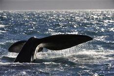<p>La coda di una balena REUTERS/Maxi Jonas</p>