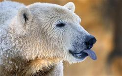 <p>Una immagine dell'orso polare Knut nello zoo di Berlino. REUTERS/Johannes Eisele (GERMANY). FOR EDITORIAL USE ONLY. NOT FOR SALE FOR MARKETING OR ADVERTISING CAMPAIGNS.</p>