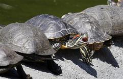 <p>Черепахи греются на солнце в зоопарке в Киеве 2 июля 2009 года. Скорость крупнейших в мире реактивных самолетов уступила медленной и размеренной походке черепах, которые явились причиной задержки рейсов в международном аэропорту имени Кеннеди в Нью-Йорке в среду. REUTERS/Gleb Garanich</p>