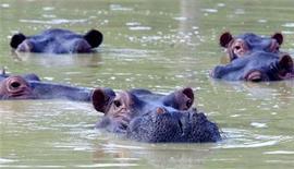 <p>Гиппопотамы в пруду на вилле колумбийского наркобарона Пабло Эскобара в Пурто-Триунфо 10 декабря 2002 года. Гиппопотам, сбежавший три года назад из зоопарка покойного колумбийского наркобарона Пабло Эскобара был обнаружен живущим в местной реке Магдалена, сообщил один из колумбийских журналов. REUTERS/Albeiro Lopera</p>