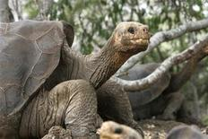 <p>George, the giant tortoise is seen in the national park of the Galapagos islands April 29, 2007. REUTERS/Guillermo Granja</p>