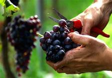 <p>A grape picker cleans a bunch of grapes during a day of grape harvest in south-eastern France September 21, 2005. REUTERS/Eric Gaillard</p>