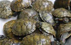 <p>Foto de archivo de unas tortugas en una tienda de perfumes a las afueras de Hanoi, 7 feb 2009. Una tortuguita puede parecer la mascota ideal, pero agentes sanitarios están advirtiendo que las tortugas pueden dañar la salud luego de que dos niñas enfermaron de salmonela después de nadar junto a sus anfibios en una piscina de patio. REUTERS/Kham (VIETNAM)</p>
