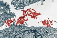 <p>The H1N1 flu virus (red) in an image courtesy of the University of Wisconsin-Madison. REUTERS/Handout</p>
