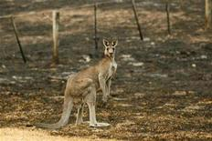<p>A kangaroo, injured by bushfires, is seen in a burnt out field in the town of Steels Creek, 60km (37 miles) northeast of Melbourne February 13, 2009. REUTERS/Mick Tsikas</p>