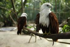 <p>Brahminy Kites (Haliastur indus), also known as the Red-backed Sea-eagle, rest inside a cage at Pulau Kotok bird rehabilitation centre in the Thousand Islands, north of Jakarta January 27, 2010. REUTERS/Beawiharta</p>