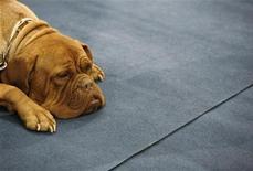 <p>Пес породы бульмастиф на выставке собак в Бухаресте 3 декабря 2006 года. Словенец, спасший трех собак от усыпления за нападения на людей, сам стал их жертвой, сообщила полиция в среду. REUTERS/Bogdan Cristel</p>