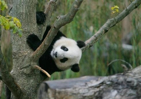 A panda's life