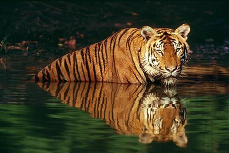 asian affluence endangers world tiger population