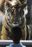 <p>Imagen de archivo de un tigre siendo enseñado a través de un vidrio en el zoológico Sriracha de Tailandia. 26 ene, 2010. Las celebridades de India no paran de repetir una cifra: 1.411, un número clave en la campaña para salvar a los tigres que comenzó paralelamente con el Año Nuevo Chino, centrado esta vez en el felino en peligro de extinción. REUTERS/Sukree Sukplang/Archivo</p>