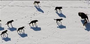 <p>Серые волки приближаются к зубру в Национальном парке Йеллоустоун, США, 21 февраля 2008 года. Учительницу, найденную на этой неделе близ одной из удаленных деревень на Аляске, могли загрызть волки, сообщила полиция в четверг. REUTERS/Canon USA/Handout</p>