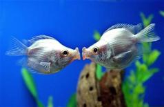 """<p>A pair of tropical """"kissing fish"""" kiss at a pet store in Shanghai February 14, 2006. REUTERS</p>"""