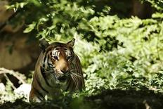 <p>Южно-китайский тигр в зоопарке Шанхая 8 июля 2008 года. Китайский фермер угодил в тюрьму, за то что подделал фотографии тигра, принадлежащего к вымирающему виду, и получил солидную награду от организаций по защите животных. REUTERS/Aly Song</p>