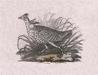 <p>An Audubon illustration of a grouse is seen in an undated handout image. REUTERS/Handout/Academy of Natural Sciences</p>
