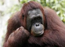 <p>An orangutan looks on at the Singapore Zoo June 4, 2009. REUTERS/Staff</p>