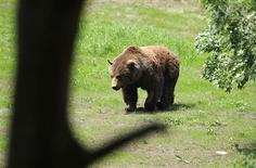 """<p>Les propriétaires de plants clandestins de marijuana au Canada avaient """"engagé"""" des ours pour garder leur précieux bien, mais ces derniers, abondamment nourris de viande pour chien, n'ont pas bougé lorsque les policiers sont arrivés pour démanteler ces plantations, situées près du lac Christiana, en Colombie britannique. /Photo d'archives/REUTERS/Eloy Alonso Gonzales</p>"""