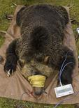 <p>A female bear cub captured with its mother and relocated away from human habitation is seen laying on the ground after being captured by Montana Fish, Wildlife and Parks officials in Coram, Montana in a handout photo taken on September 19, 2010. REUTERS/Derek Reich/Montana Fish, Wildlife and Parks/Handout/Files</p>