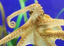<p>Octopus Paul II is pictured at the Sea Life Centre in the western German city of Oberhausen, November 2, 2010. REUTERS/Pool</p>