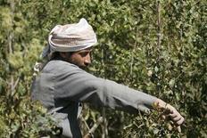 <p>A farmer harvests qat in Hamdan district near the Yemeni capital Sanaa February 17, 2010. REUTERS/Khaled Abdullah</p>