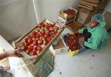 Hope smells sweet as Gaza exports strawberries - Reuters