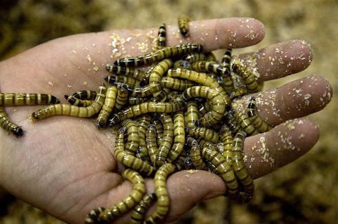 Buffet of bugs