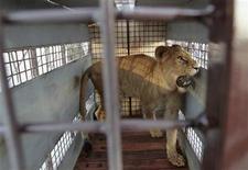 """<p>La leona Fida en el aeropuerto Viru Viru en Santa Cruz, Bolivia antes de su traslado a Denver, EEUU, feb 16 2011. Un avión carguero bautizado ocasionalmente como """"arca de leones"""" partió el miércoles de Bolivia llevando a bordo 25 leones rescatados de circos ambulantes y precarios zoológicos del país sudamericano, rumbo a un """"santuario"""" de vida salvaje en Estados Unidos. REUTERS/David Mercado</p>"""