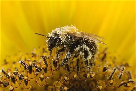 A bee collects pollen from a sunflower in Utrecht July 27, 2010. REUTERS/Michael Kooren
