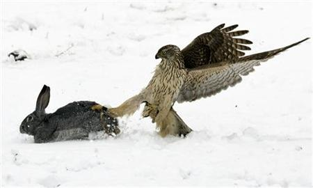 A hunting hawk catches a rabbit during an annual hunting competition in Chengelsy Gorge, some 150 km (93 miles) east of Almaty, December 5, 2009. REUTERS/Shamil Zhumatov