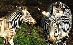 <p>Florence (L), a Grevy's zebra foal, stands next to her mother Emily, during a photocall to announce her successful birth in July at Edinburgh zoo, Scotland September 4, 2008. REUTERS/David Moir</p>