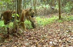 <p>A Sumatran tiger plays with its cub in the Bukit Tigapuluh forest on central Sumatra island in this image captured using camera traps on April 14, 2011, and released May 9, 2011. REUTERS/WWF Indonesia/Handout</p>