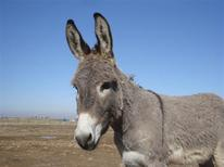"""<p>""""Smoke,"""" the donkey mascot adopted by Retired U.S. Marine Colonel John Folsom and recently evacuated from Iraq to a new home in Omaha, Nebraska is seen in this undated file photo shot by Folsom at an unidentified location in Iraq and released by the Society for the Prevention of Cruelty to Animals International on May 18, 2011. REUTERS/John Folsom/SPCAI/Handout</p>"""