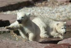 <p>Twin polar bear cubs Gregor and Aleut play in their enclosure at the zoo in Nuremberg march 23, 2011. REUTERS/Thomas Lange</p>