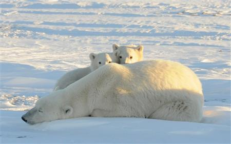 More polar bear cubs die as Arctic ice melts