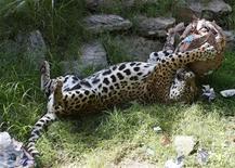 <p>Imagen de archivo de un jaguar en el zoológico de Buenos Aires, abr 9 2009. Las anticuadas pieles de jaguar que se exhiben en una oficina del Gobierno de Buenos Aires son un triste recordatorio de la existencia precaria del gran felino en los bosques del norte de Argentina. REUTERS/Enrique Marcarian</p>