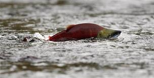 <p>A sockeye salmon swims in shallow water in the Adams River while preparing to spawn near Chase, British Columbia, northeast of Vancouver in this October 11, 2006 file photo. A lethal and highly contagious fish flu virus that decimated Chile's aquaculture industry several years ago has been found in wild Pacific salmon for the first time, alarming U.S. and Canadian researchers, who say farmed Atlantic salmon imported into the region are to blame; the salmon farming industry is disputing the study. REUTERS/Andy Clark/Files</p>