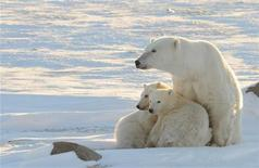 <p>A World Wildlife Fund photograph taken along the western shore of Hudson Bay in November 2010 shows a female polar bear with two cubs near Churchill, Canada, in this image released to Reuters on February 9, 2011. REUTERS/Geoff York/World Wildlife Fund/Handout</p>