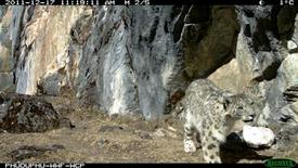 <p>A snow leopard is captured in this remote camera in Wangchuck Centennial Park in Bhutan in this photograph released on February 14, 2012. REUTERS/World Wildlife Fund</p>