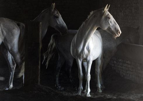 Dancing horses of Vienna
