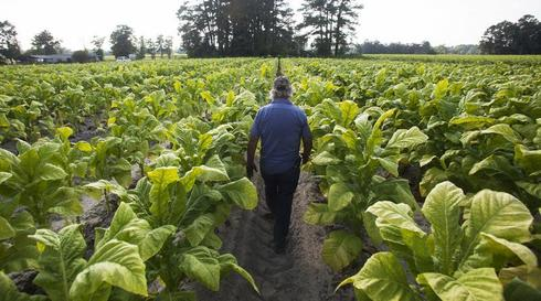 Harvesting tobacco